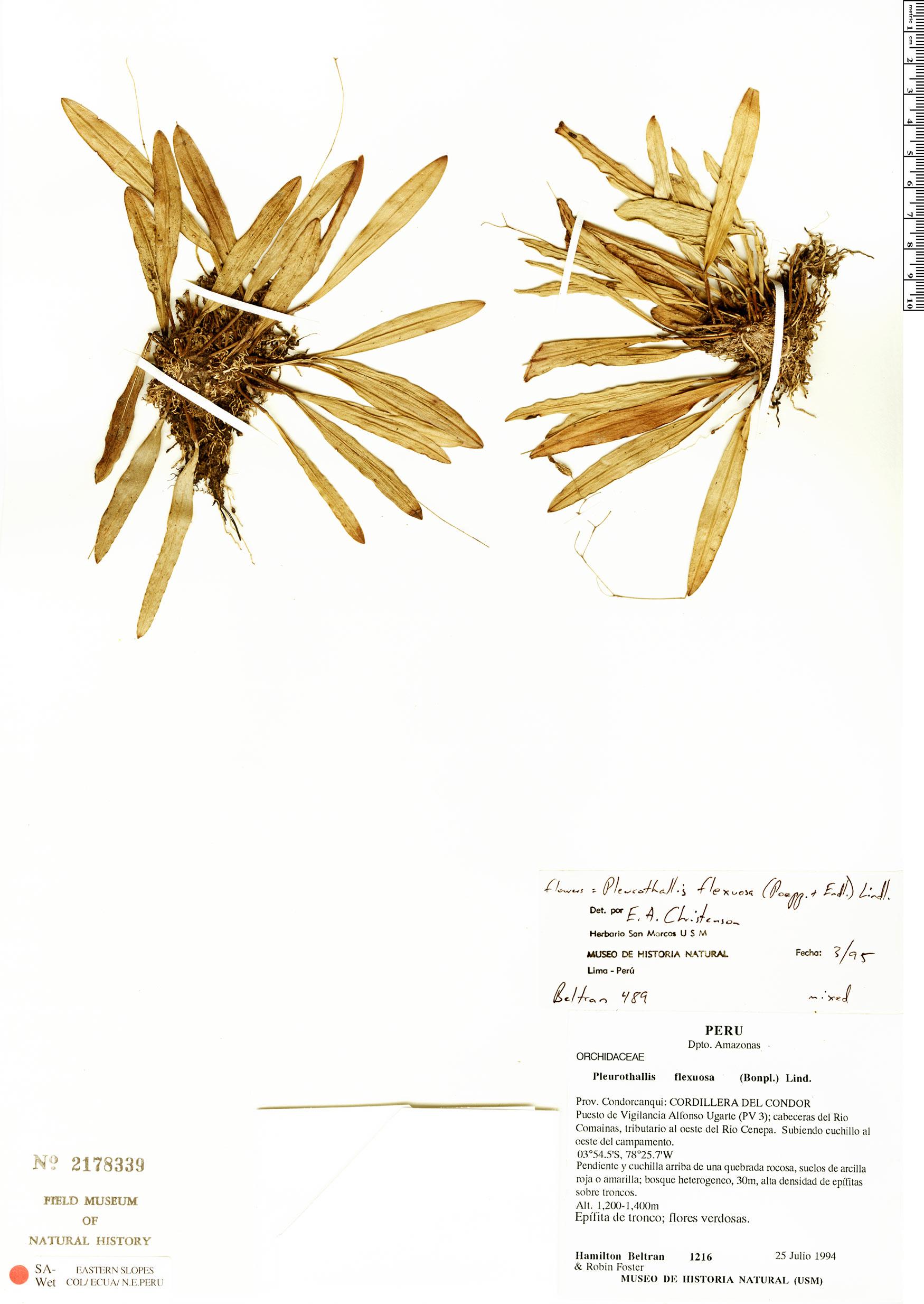 Specimen: Pleurothallis flexuosa