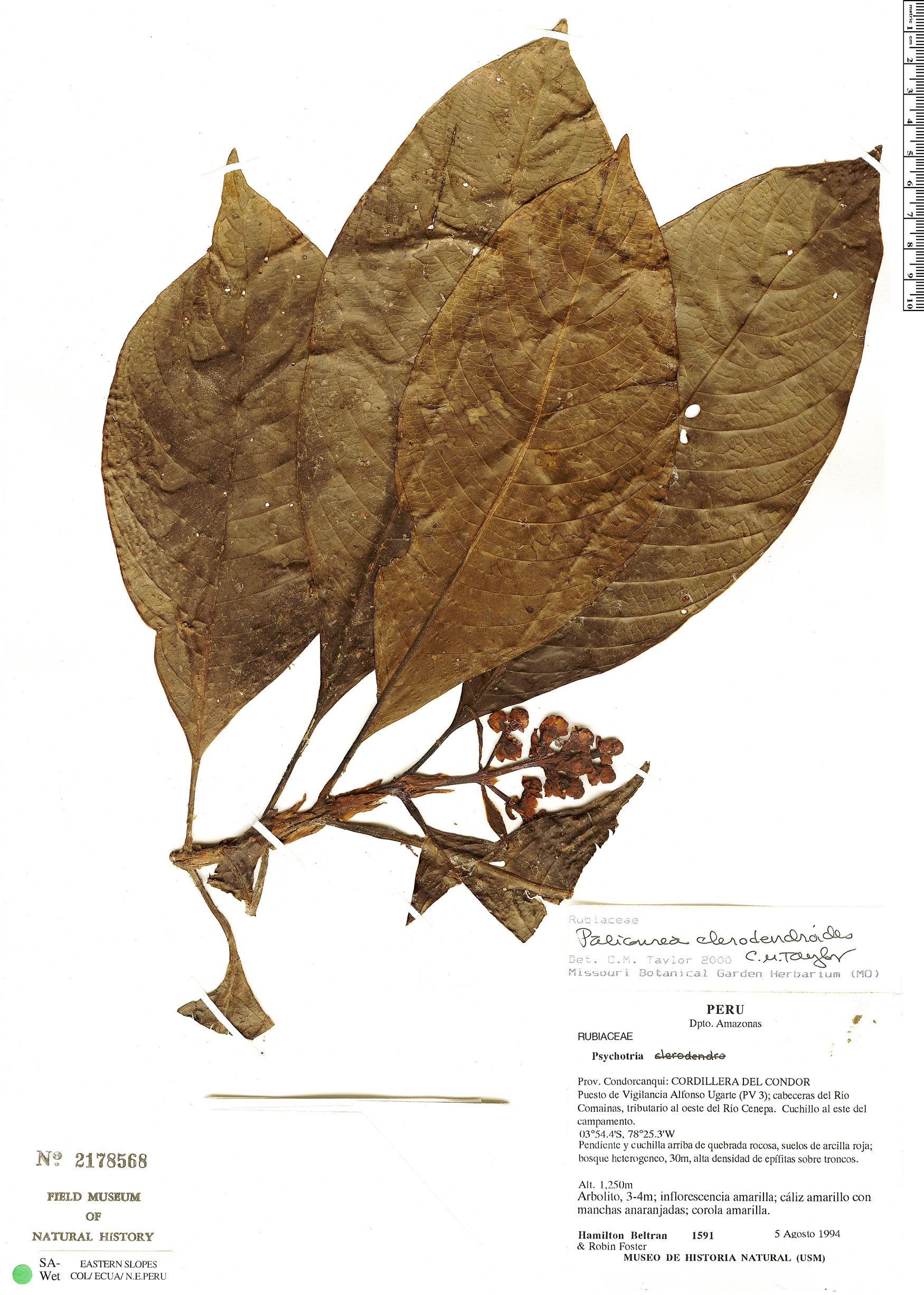 Specimen: Palicourea ceriantha