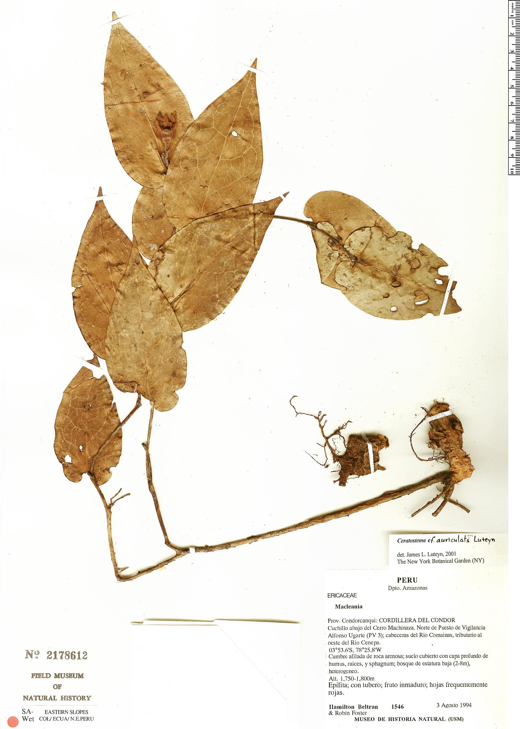 Specimen: Ceratostema auriculatum