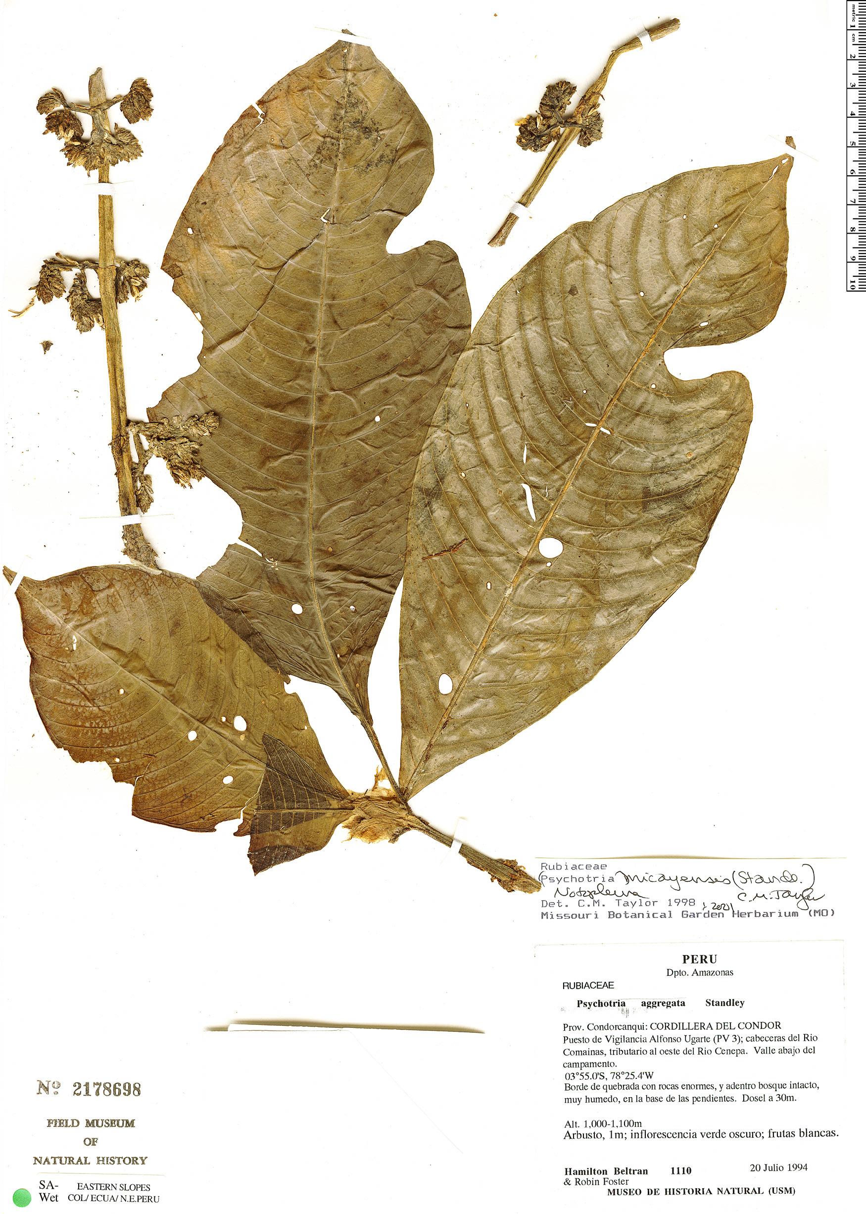 Specimen: Notopleura micayensis