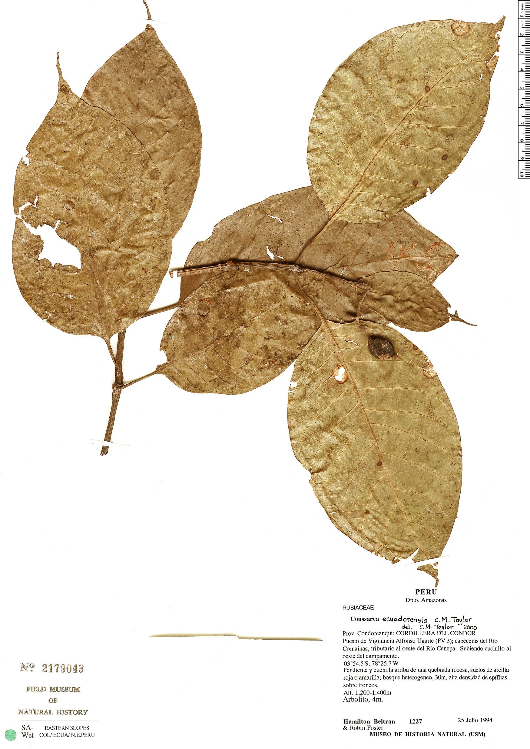 Specimen: Coussarea ecuadorensis