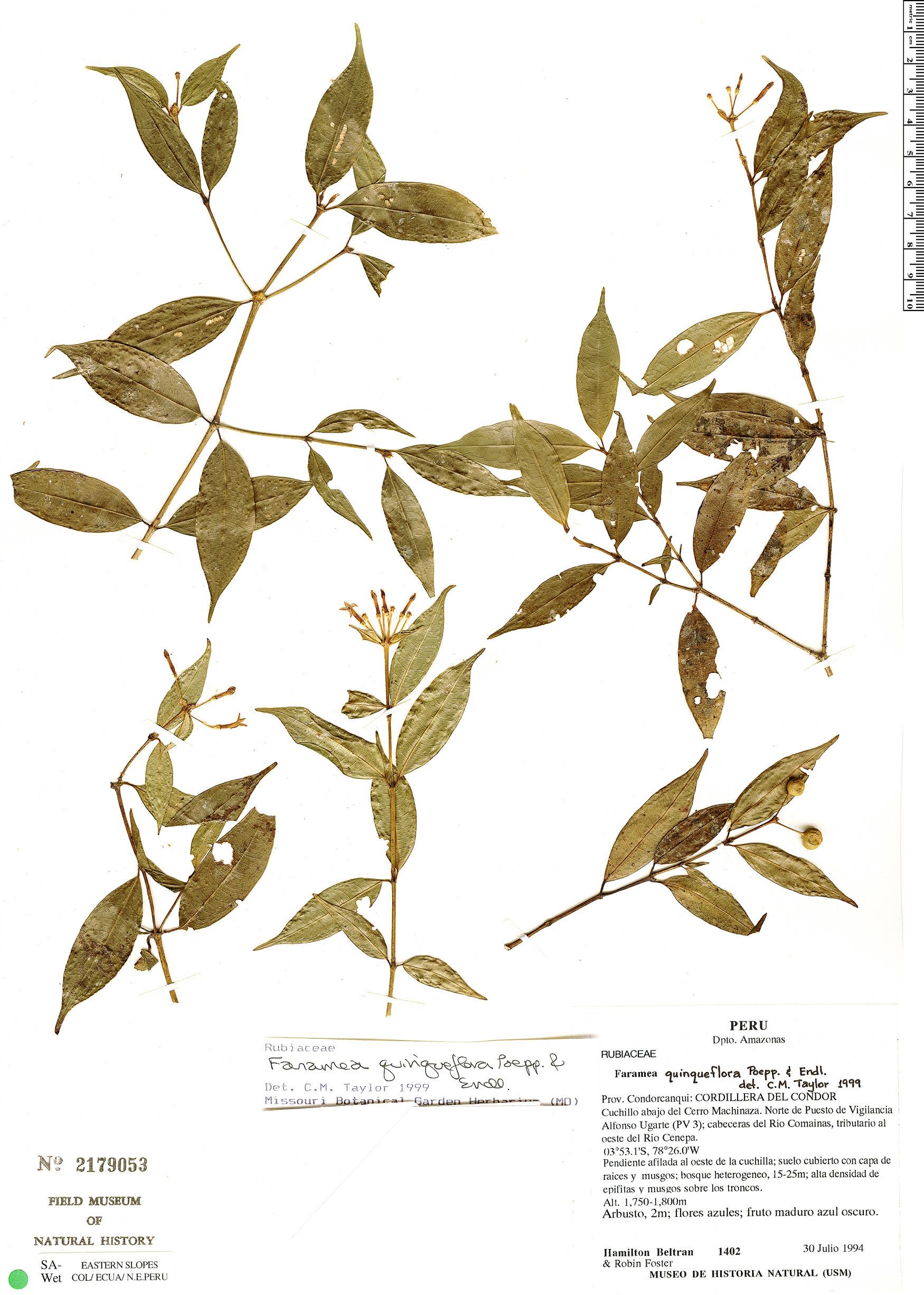 Espécimen: Faramea quinqueflora