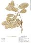 Semialarium mexicanum image
