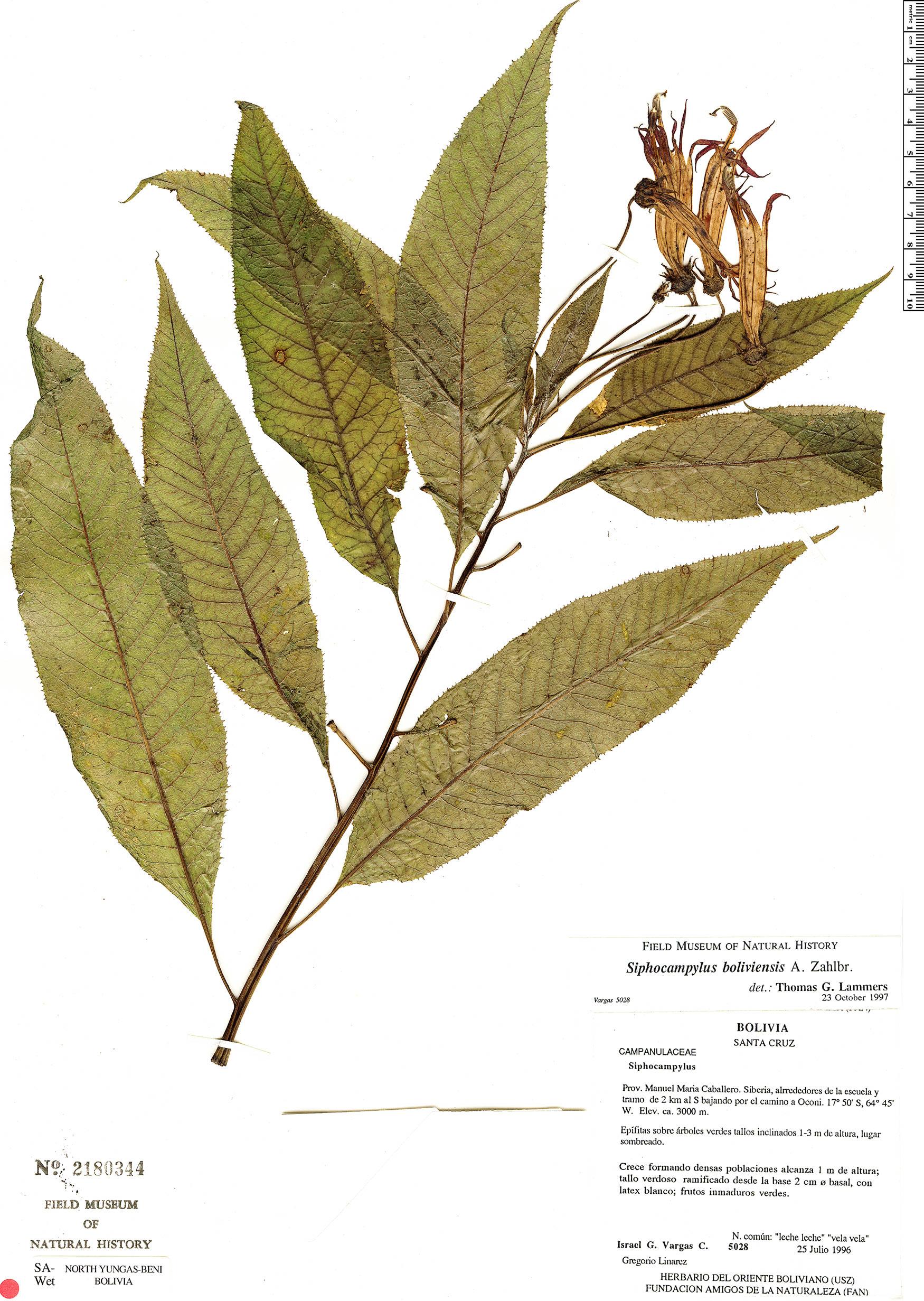 Specimen: Siphocampylus boliviensis