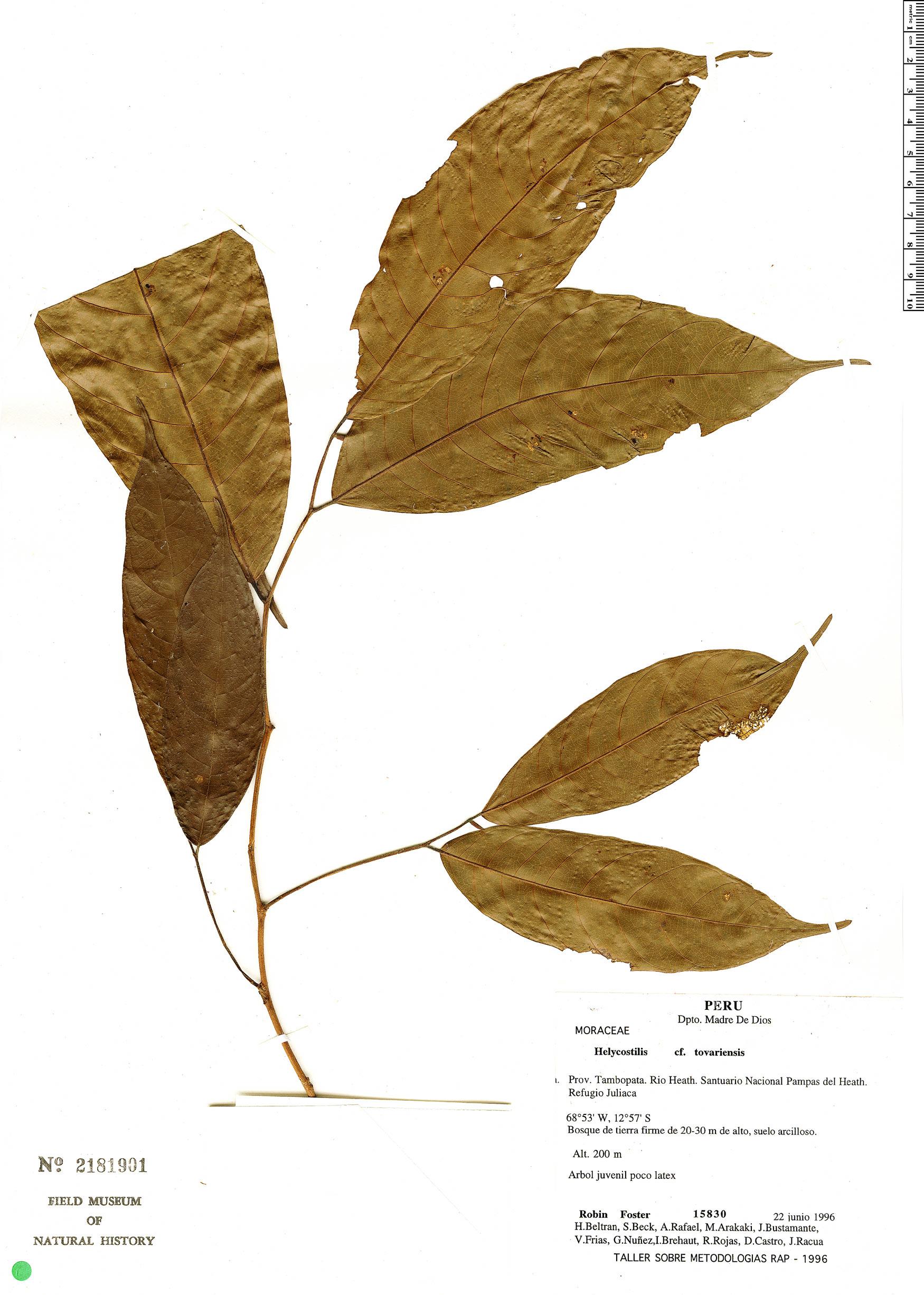 Specimen: Helicostylis tovarensis