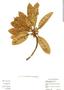 Manilkara zapota (L.) P. Royen, Belize, C. Whitefoord 9247, F