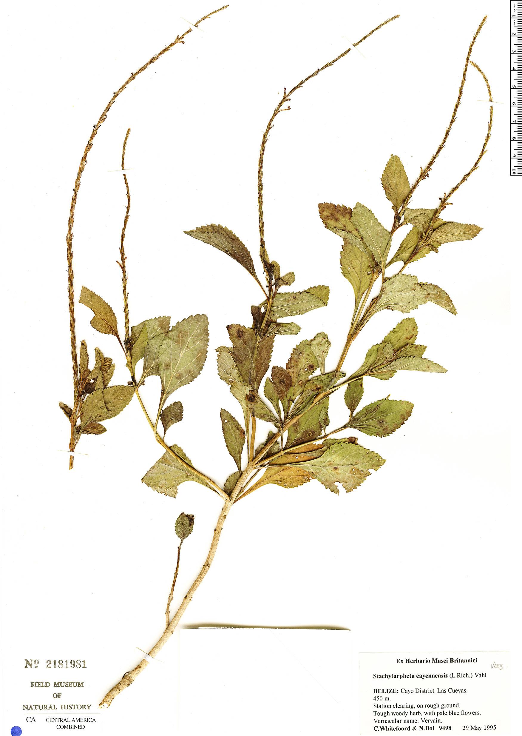 Stachytarpheta cayennensis image