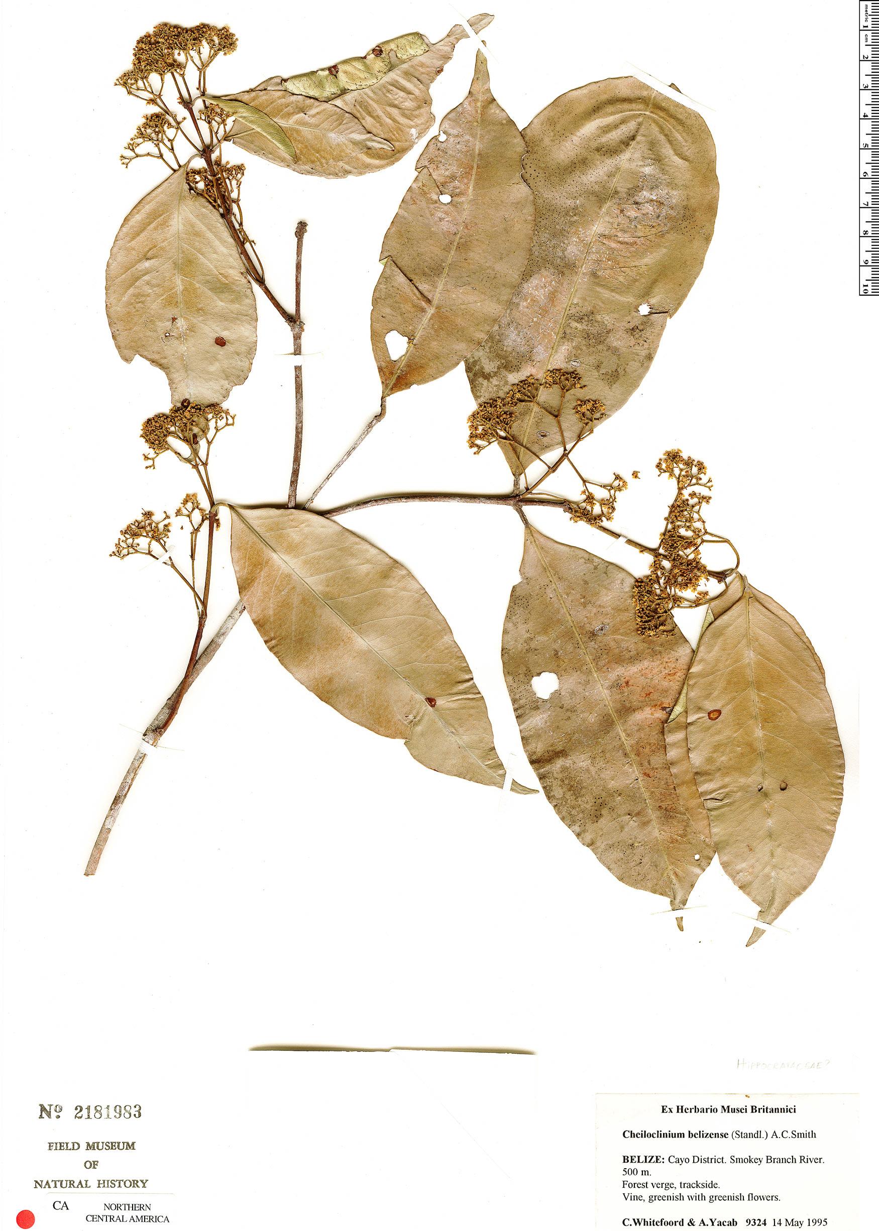 Cheiloclinium belizense image