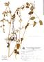 Salvia ayavacensis Kunth, Peru, V. Quipuscoa S. 491, F