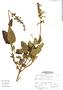 Salvia ochrantha Epling, Peru, A. Sagástegui A. 15955, F