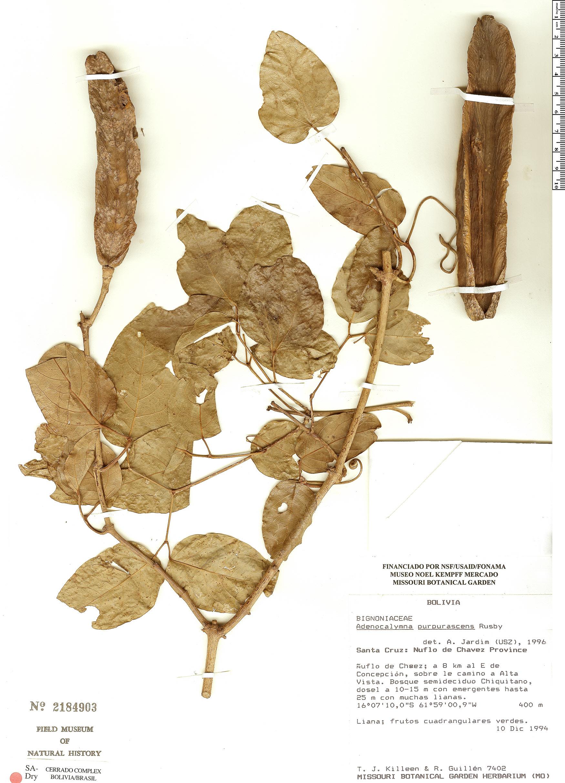 Specimen: Adenocalymma bracteolatum