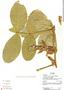 Paullinia eriocarpa, Ecuador, R. J. Burnham 1552, F