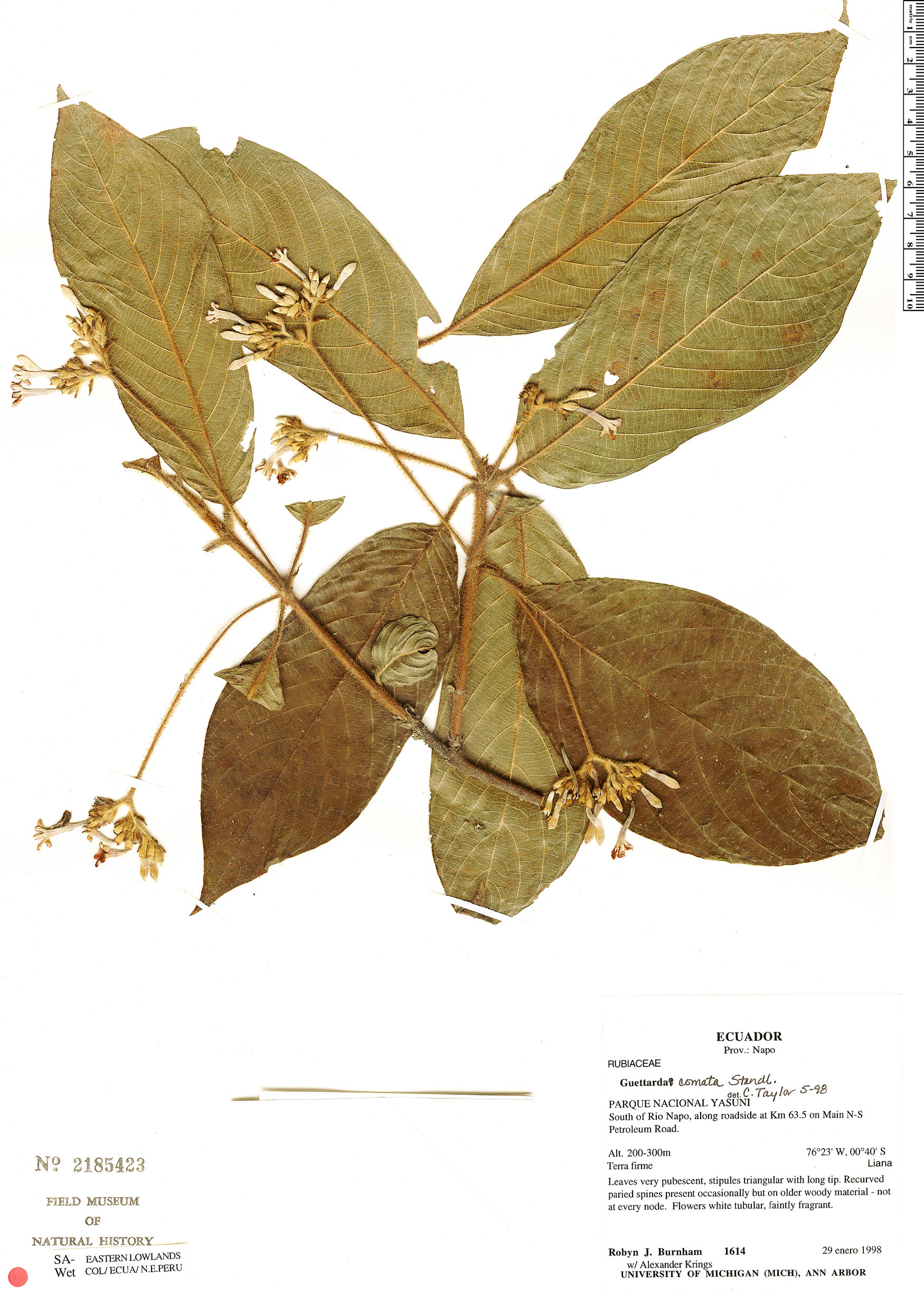 Espécimen: Guettarda comata