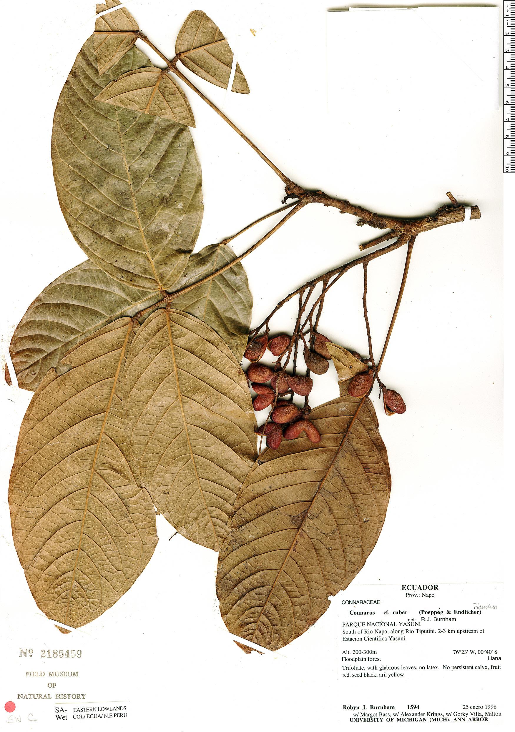 Specimen: Connarus ruber