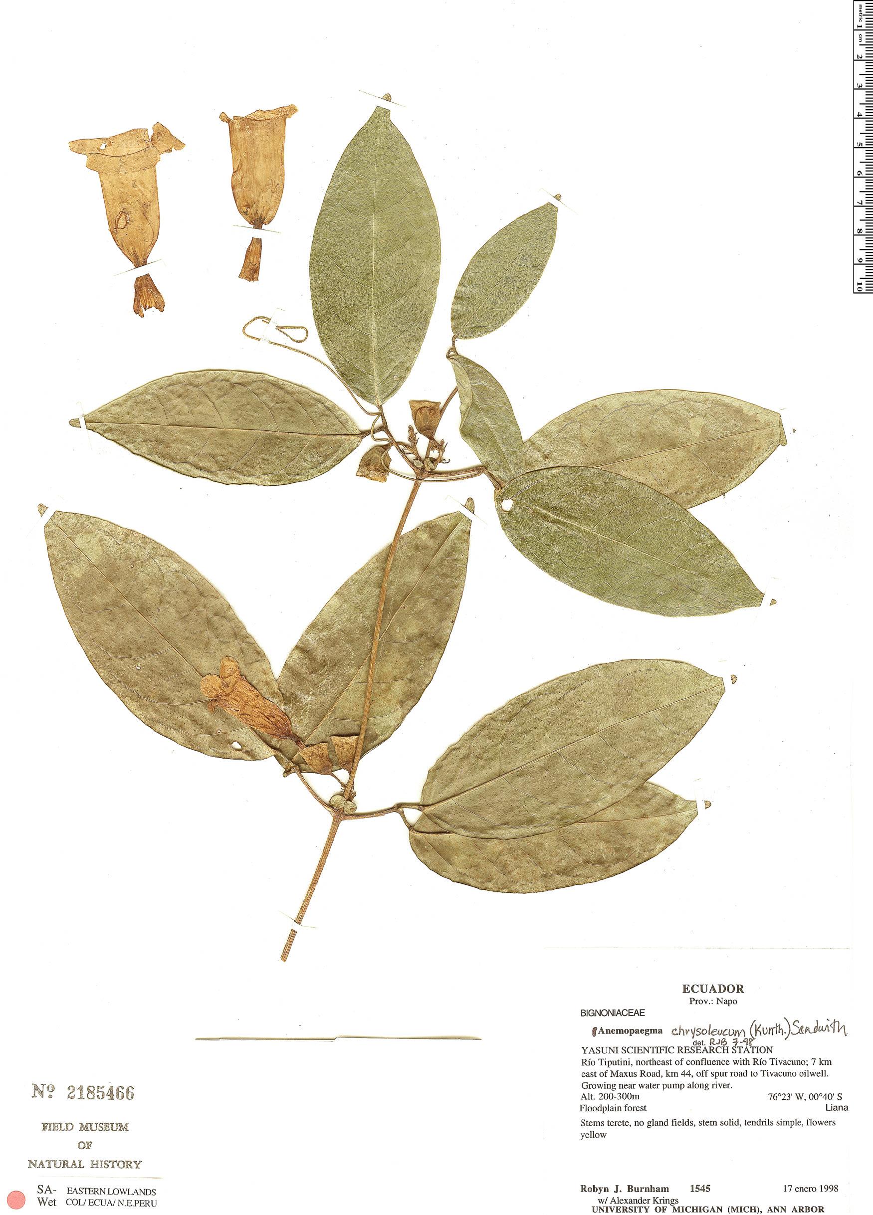 Specimen: Anemopaegma chrysoleucum