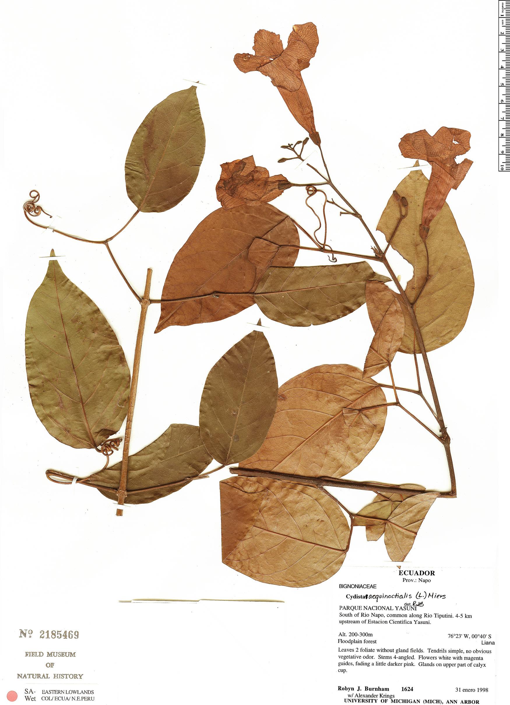 Specimen: Bignonia aequinoctialis