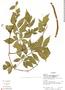 Paullinia serjaniifolia, Ecuador, R. J. Burnham 1664, F