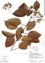 Lundia puberula Pittier, Ecuador, R. J. Burnham 1700, F