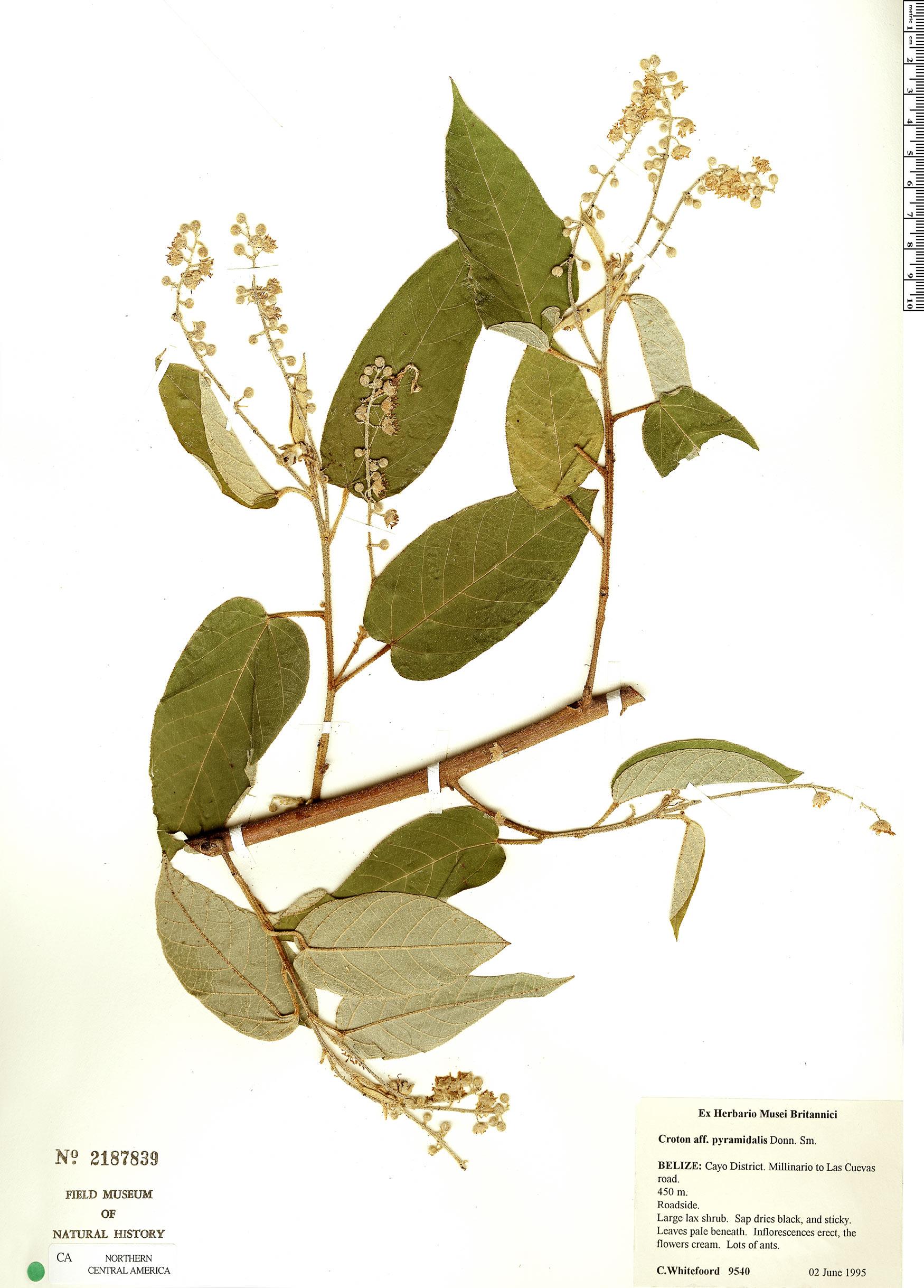 Specimen: Croton billbergianus