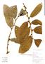 Helicostylis tomentosa, Brazil, M. Lopes 7680, F