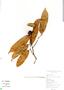 Naucleopsis oblongifolia, Brazil, P. Andrade 148, F