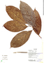 Casearia pitumba Sleumer, Ecuador, K. Romoleroux 3042, F