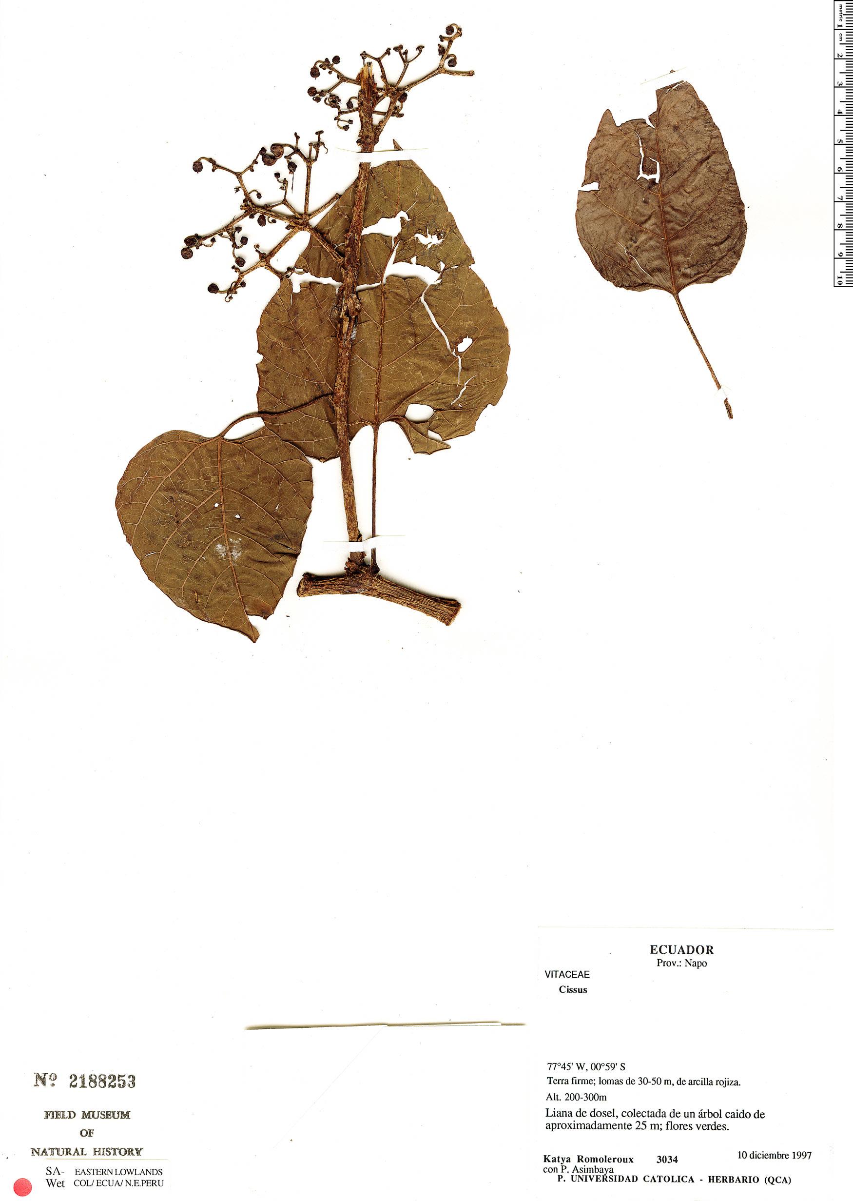 Specimen: Cissus anisophylla