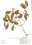 Pristimera celastroides (Kunth) A. C. Sm., Mexico, C. Chan 5052, F