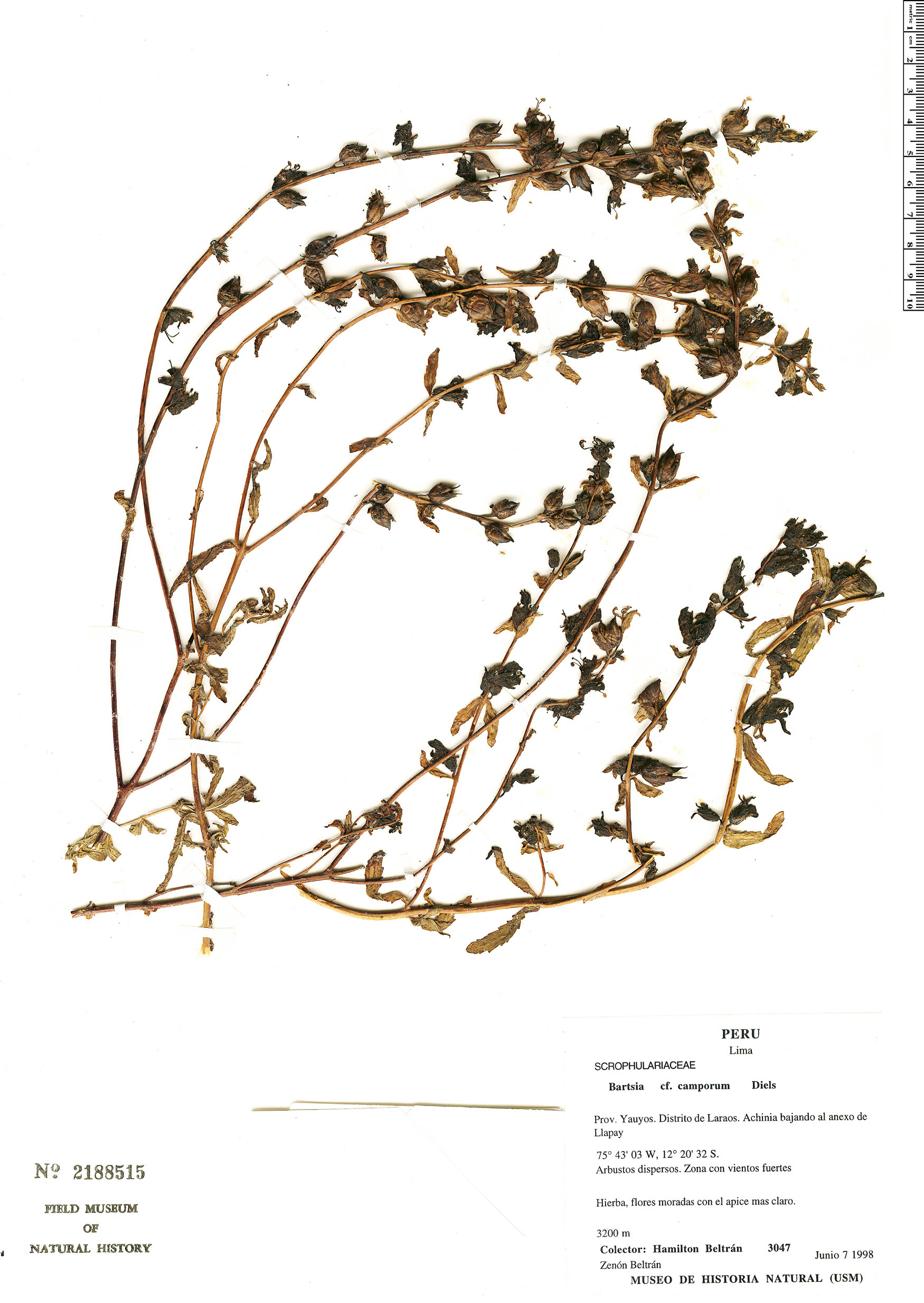 Specimen: Bartsia camporum
