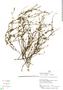 Senecio geniculipes Cuatrec., Peru, H. Beltrán 2580, F