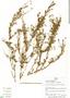 Senecio geniculipes Cuatrec., Peru, H. Beltrán 1761, F