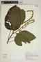 Croton palanostigma Klotzsch, Peru, M. Rimachi Y. 7382, F