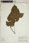Croton palanostigma Klotzsch, Peru, A. H. Gentry 25898, F