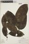 Drypetes amazonica var. peruviana J. F. Macbr., Peru, R. B. Foster 5696, F