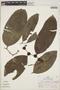 Drypetes amazonica var. peruviana J. F. Macbr., Peru, R. B. Foster 5695, F
