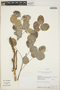 Phyllanthus chacoensis Morong, Bolivia, A. H. Gentry 75288, F