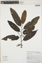 Virola elongata (Benth.) Warb., Colombia, K. Lopez 68, F
