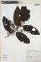 Hirtella guainiae Spruce ex Hook. f., Colombia, C. Acosta 109, F
