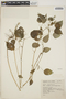 Acalypha polystachya image