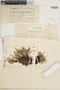 Asplenium alternifolium image