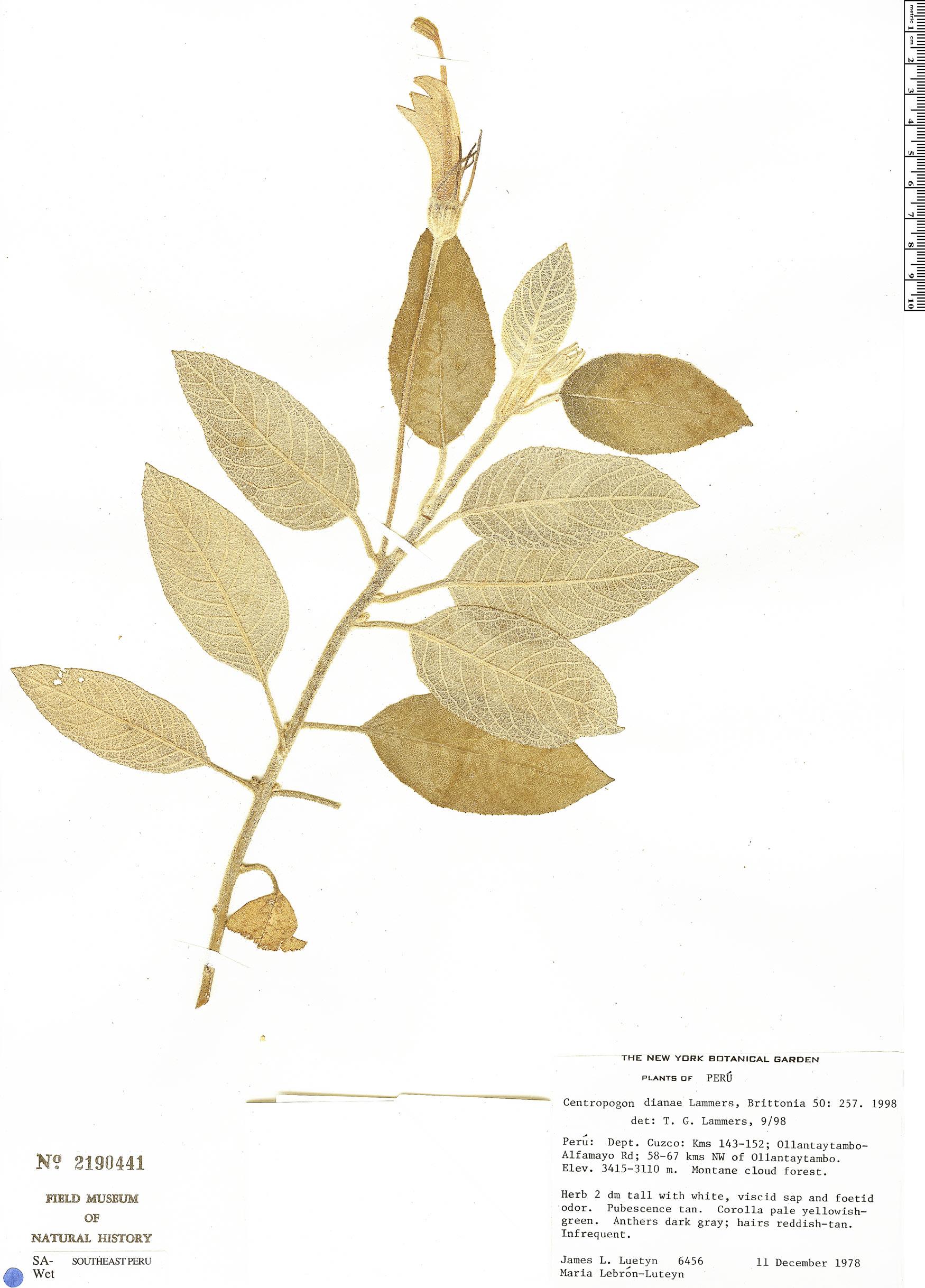 Specimen: Centropogon dianae