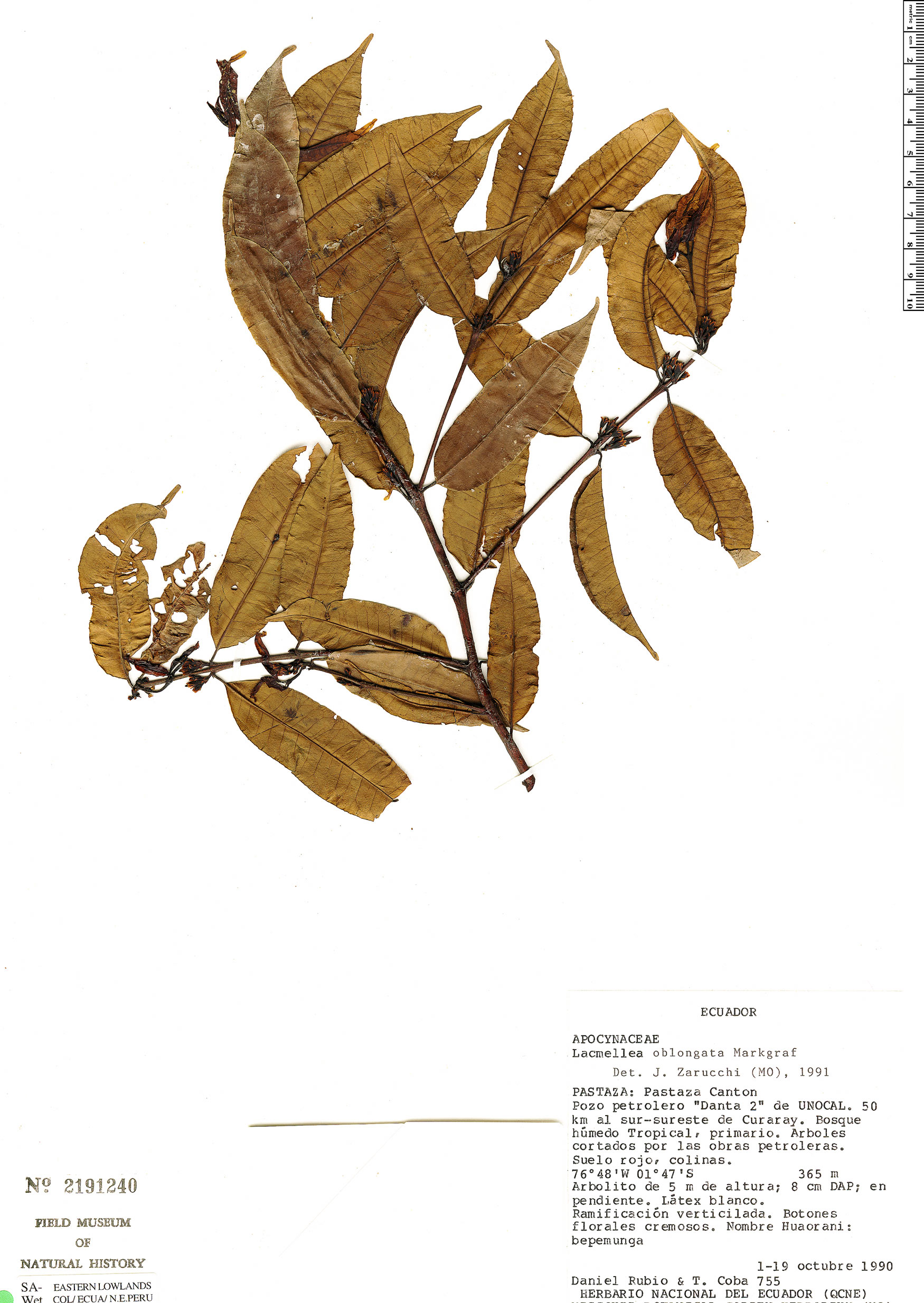 Specimen: Lacmellea oblongata