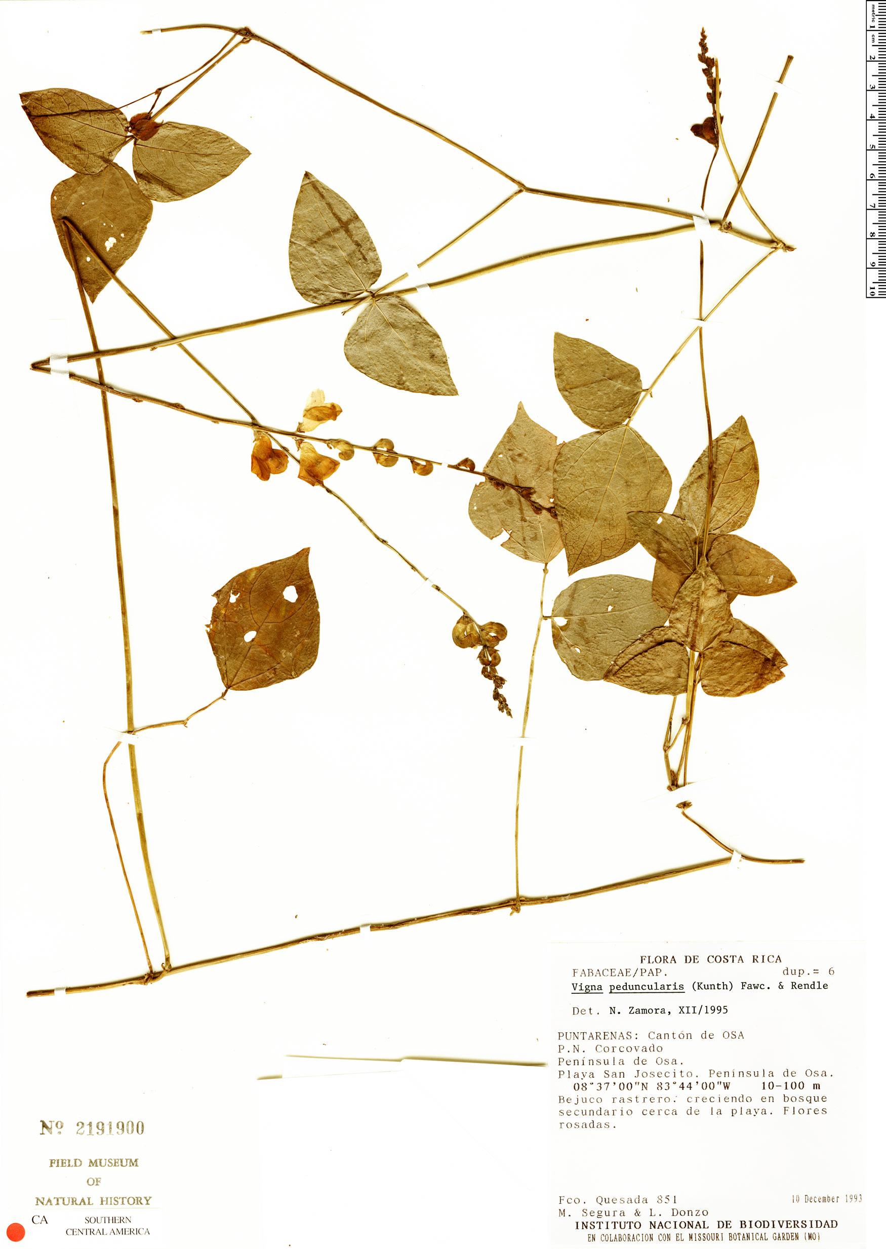 Vigna peduncularis image