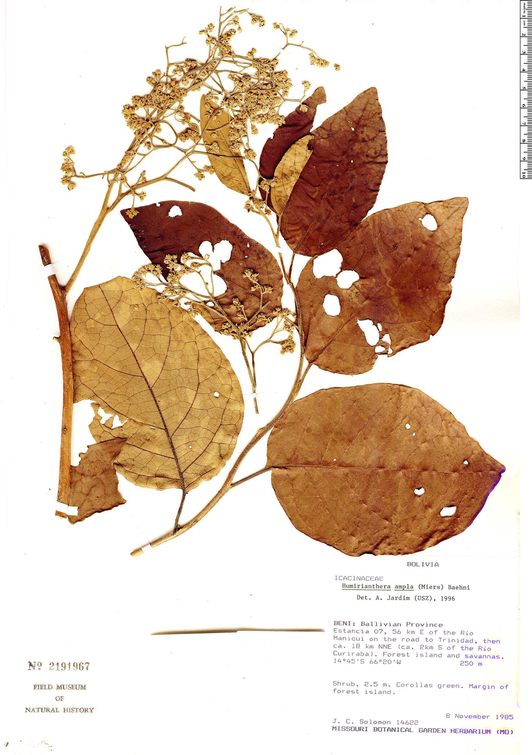 Specimen: Casimirella ampla