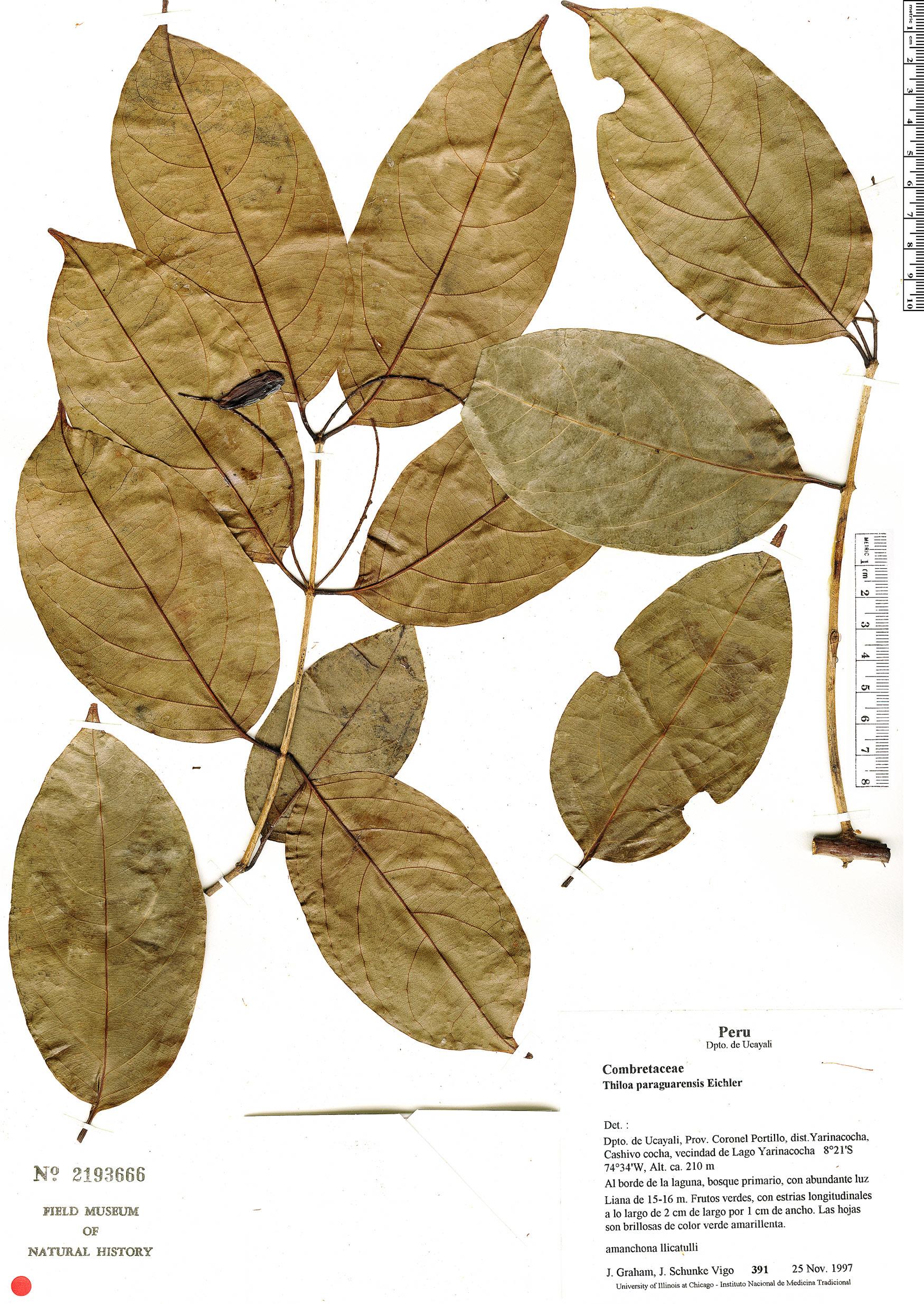 Specimen: Combretum paraguariense