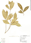 Naucleopsis straminea, Panama, S. Aguilar 538, F