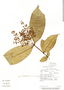 Myrcia magnoliifolia DC., Costa Rica, E. Rojas 253, F
