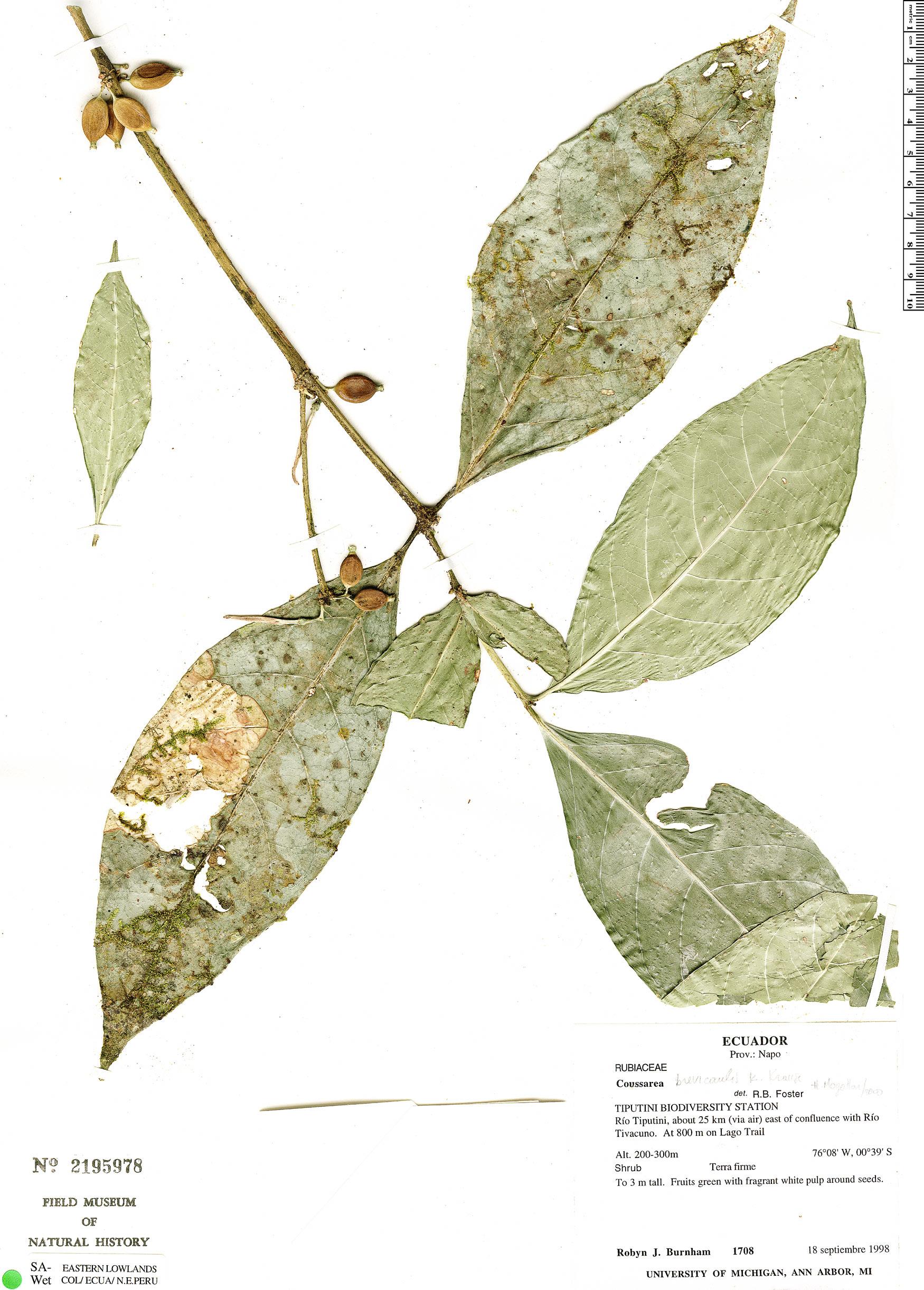 Specimen: Coussarea brevicaulis