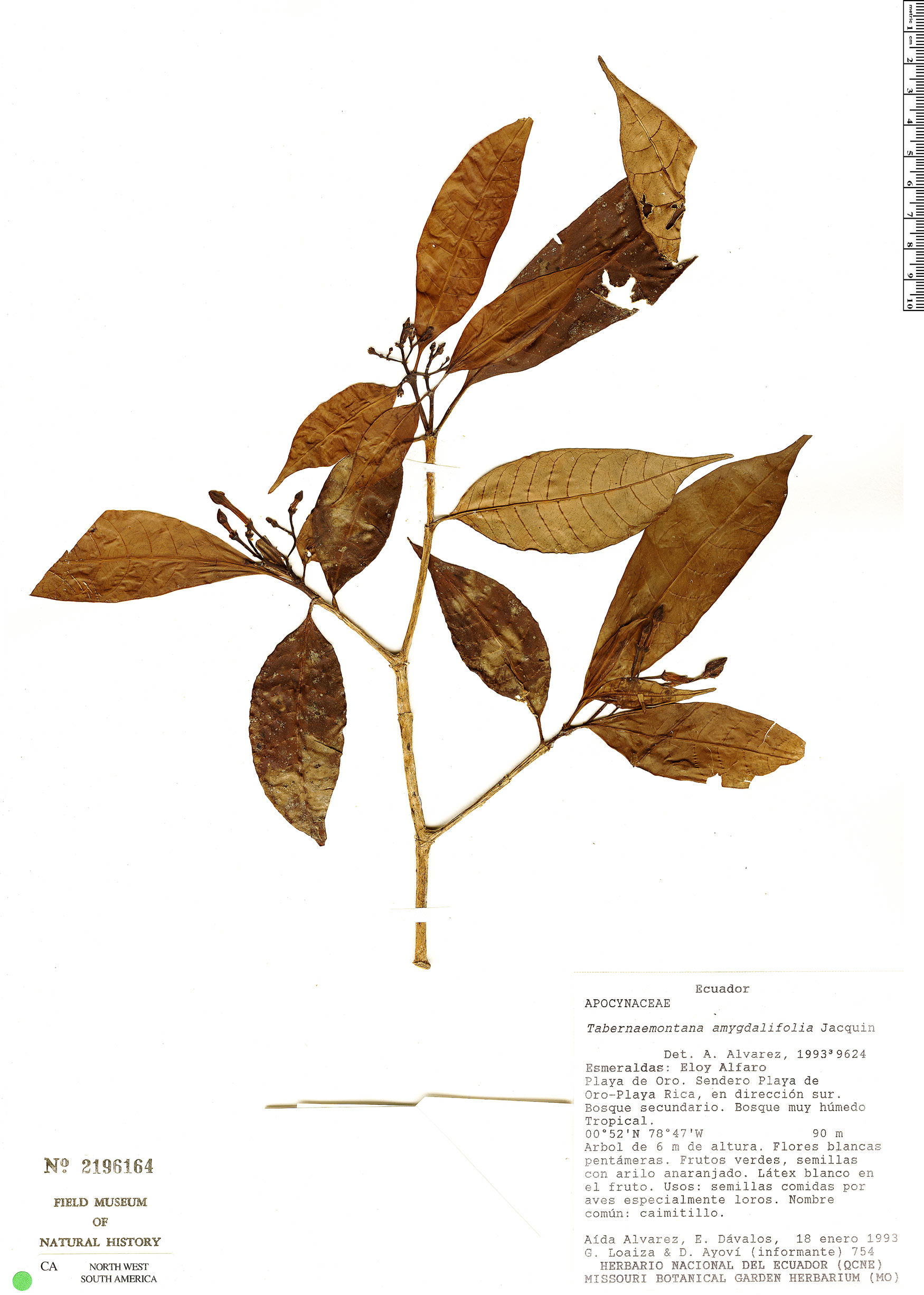 Specimen: Tabernaemontana amygdalifolia