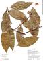 Diplopterys cabrerana (Cuatrec.) B. Gates, Ecuador, R. J. Burnham 1887, F